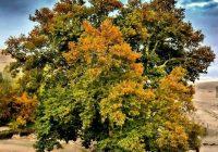 درخت چنار یوزباشلوی اهر